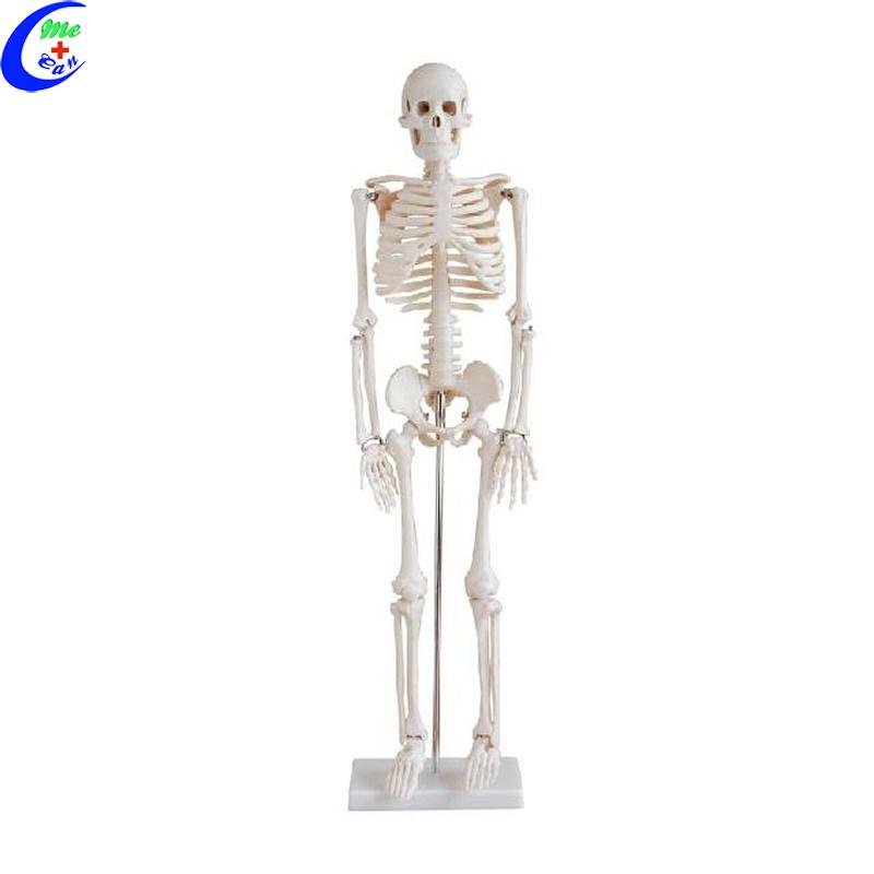 anatomy model .jpg