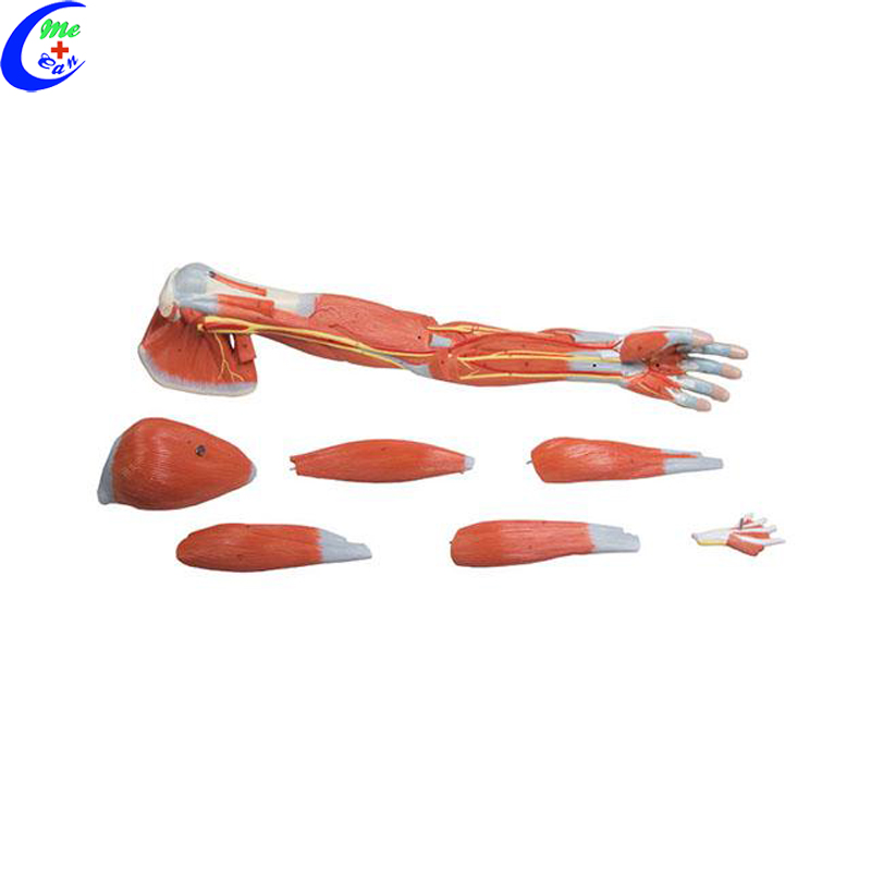 anatomical models for teaching