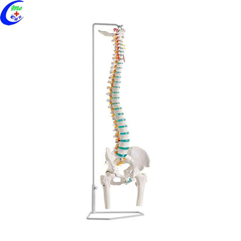anatomical spine model .jpg