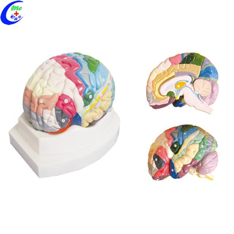 brain model 3d.jpg