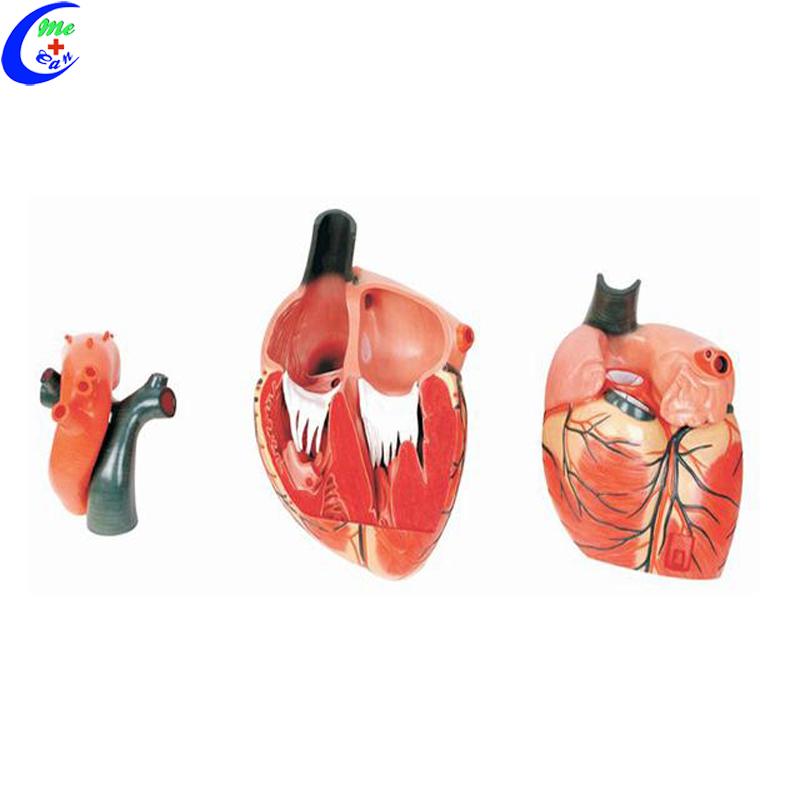 anatomical model heart