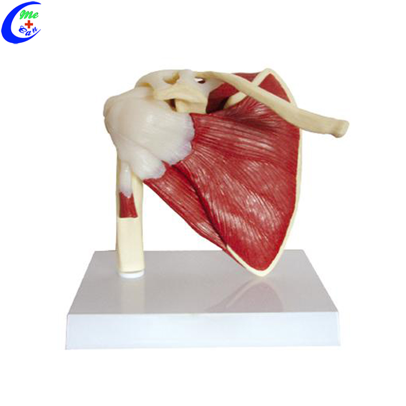 shoulder anatomy model