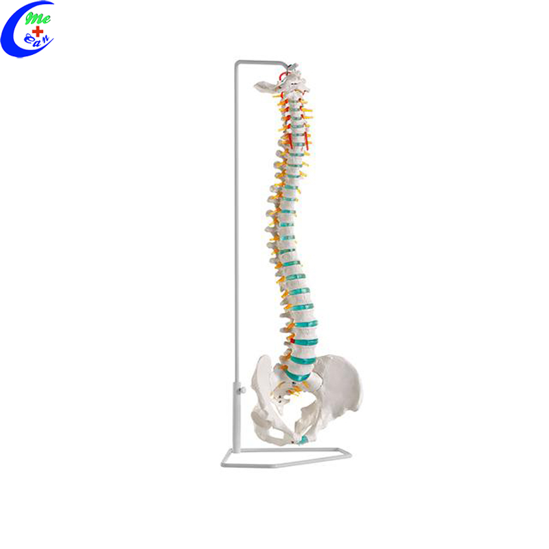 anatomical spine model.jpg