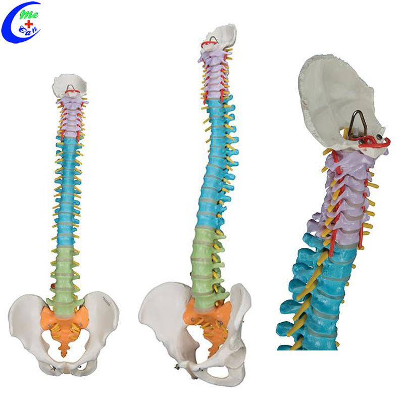 anatomical model spine.jpg