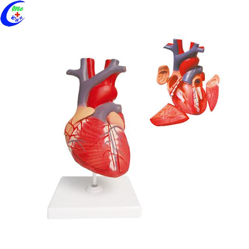 heart model anatomy