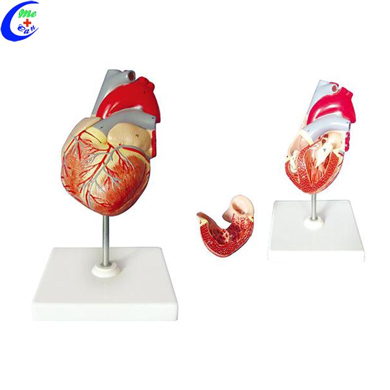 heart model anatomy.jpg