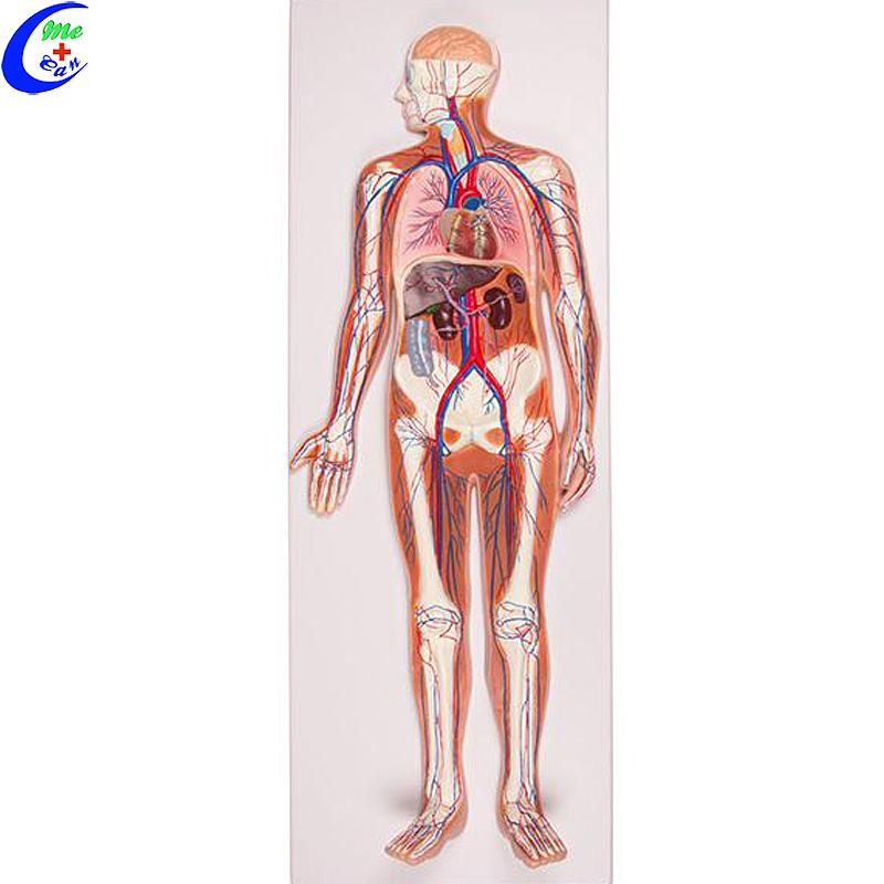 نموذج تشريحي الإنسان الطبي نموذج الدورة الدموية
