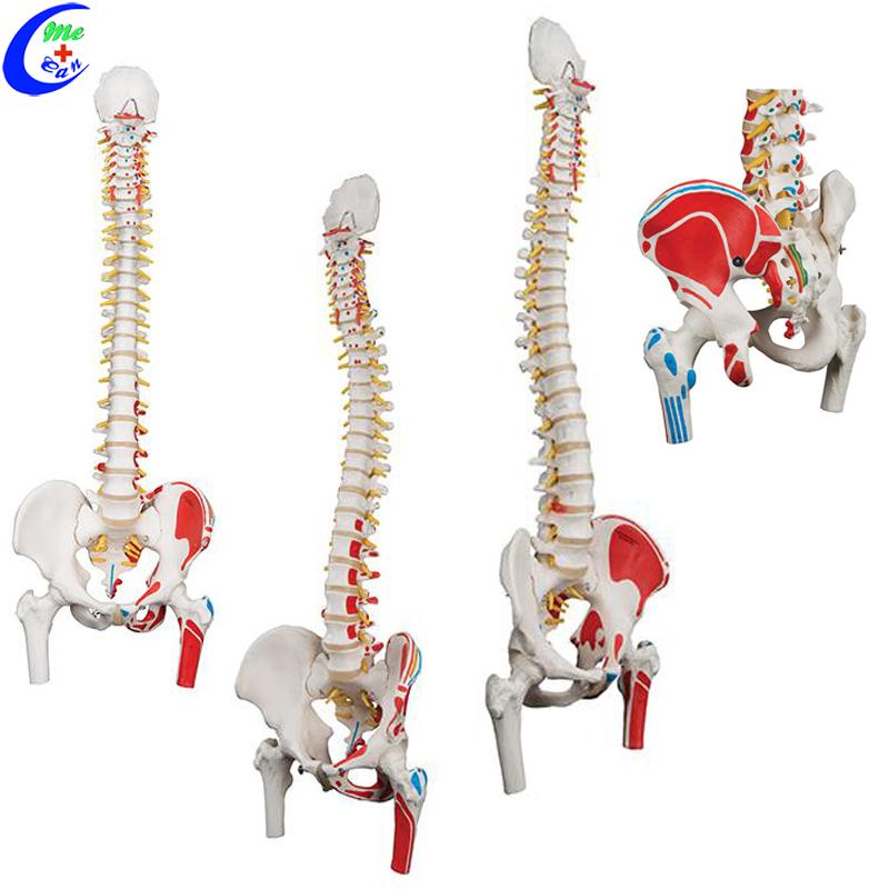 spine anatomical model.jpg