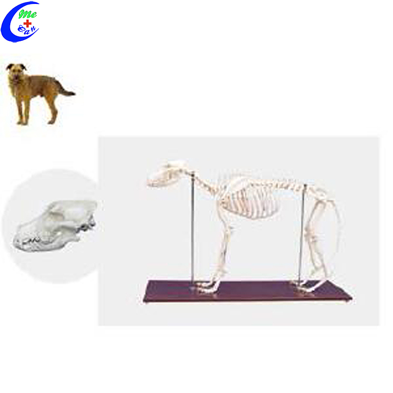 Dog Animal Skeleton Model te koop