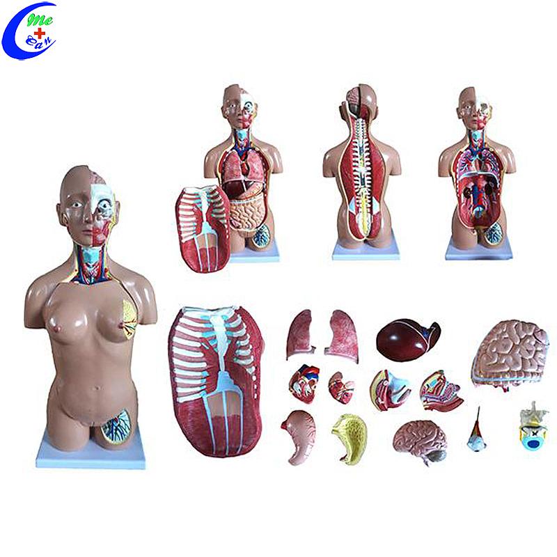 نموذج جذع مزدوج الجنس البشري التشريحي