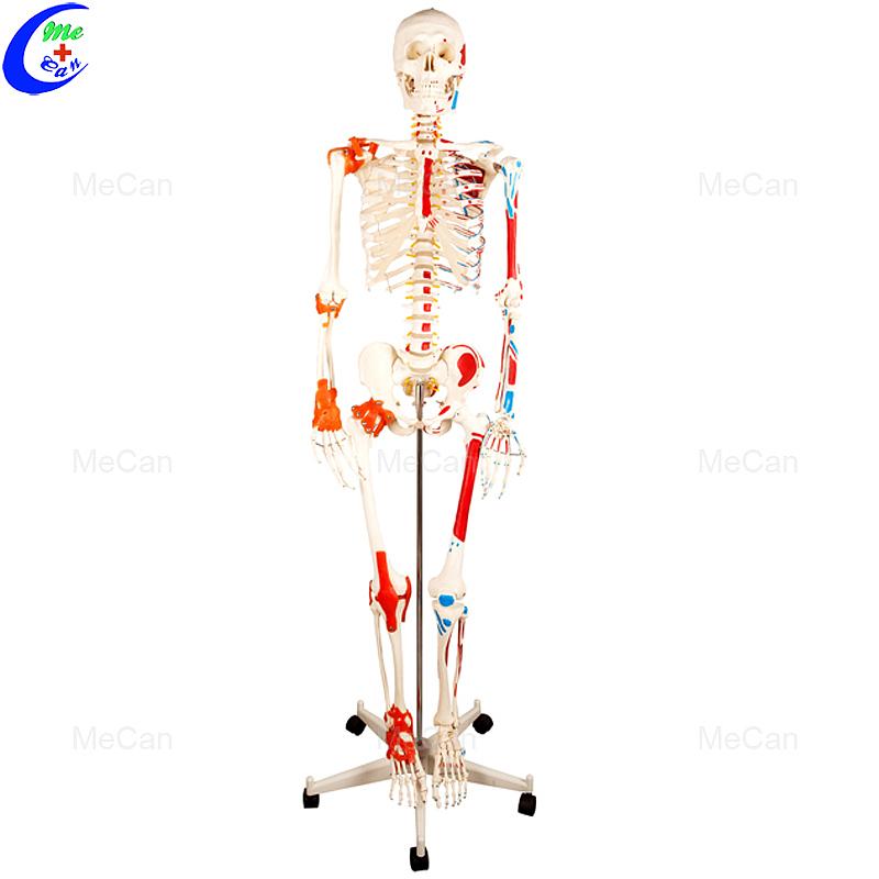 Мадэль каркаса штучнай анатоміі чалавечага цела 180 см