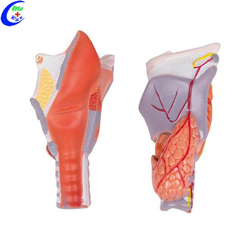 Larynx Model .jpg