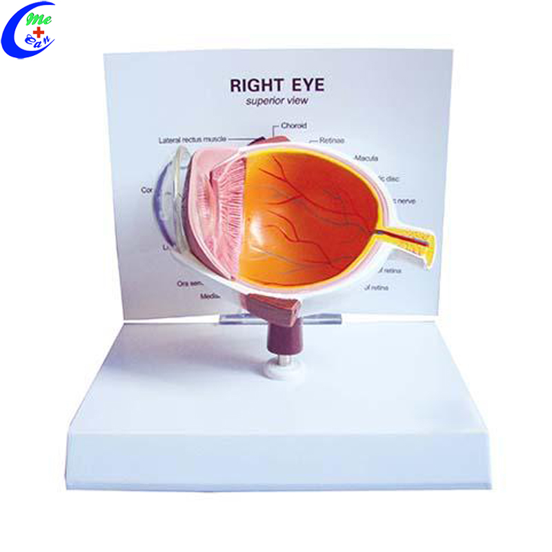 model of the human eye.jpg