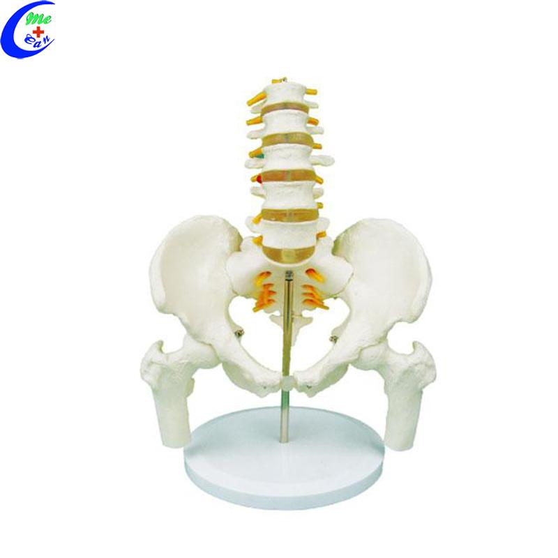 spine anatomical model .jpg