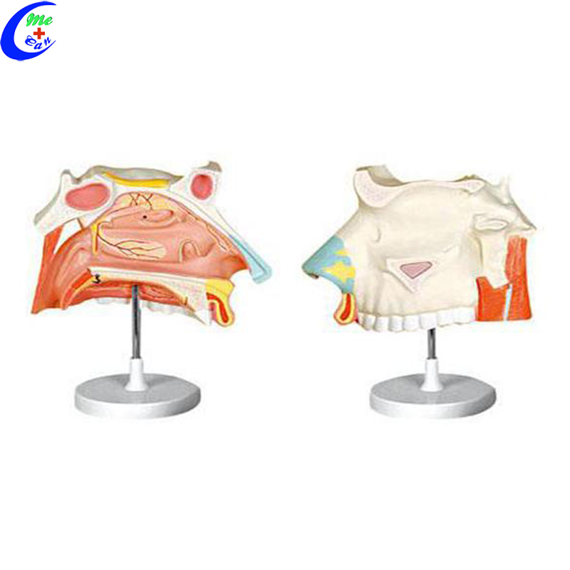medical anatomy models.jpg