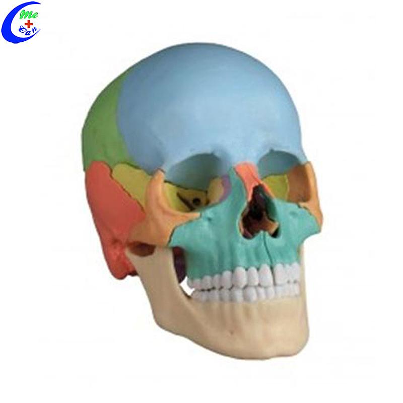 Mediese menslike anatomie gekleurde skedelmodel