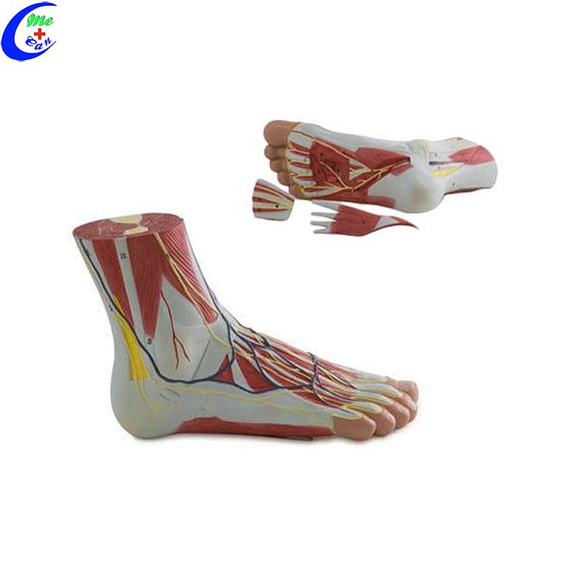 نموذج القدم التشريحي البلاستيكي