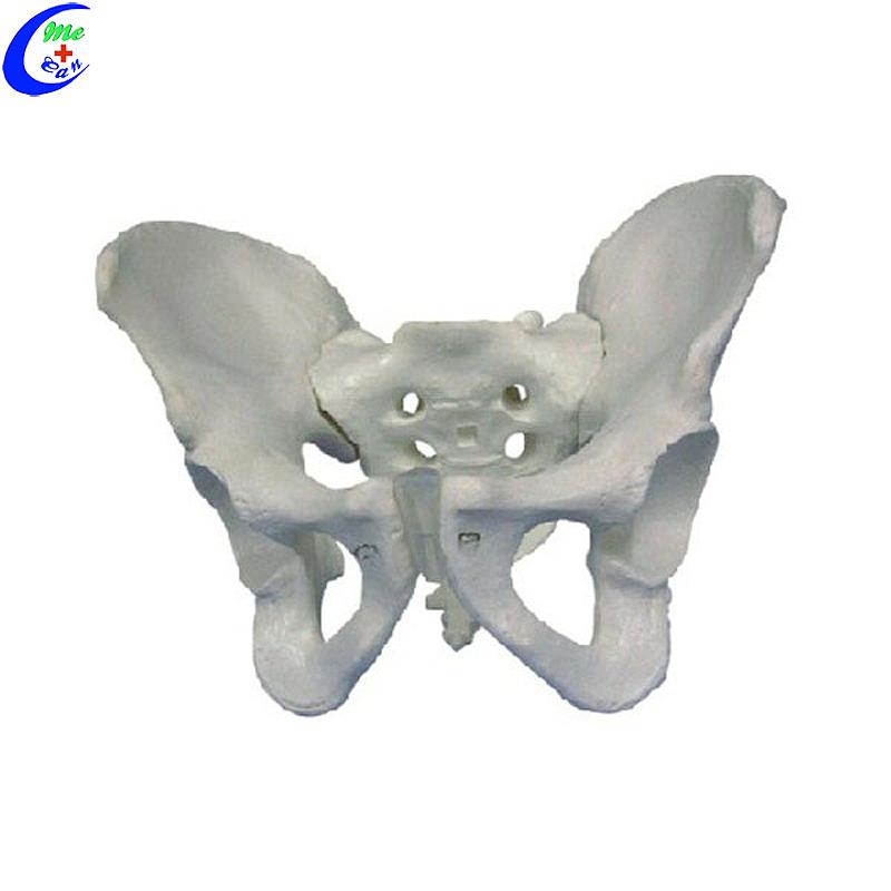 نموذج الهيكل العظمي للحوض للذكور والإناث