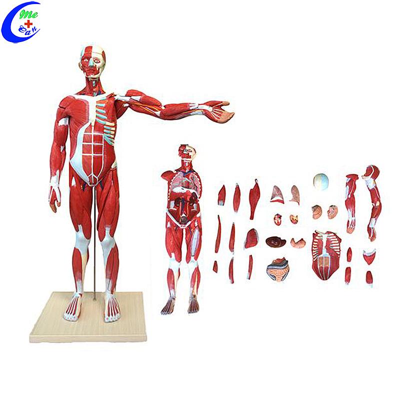 Menslike liggaamsmassa-anatomie-opvoedingsmodel