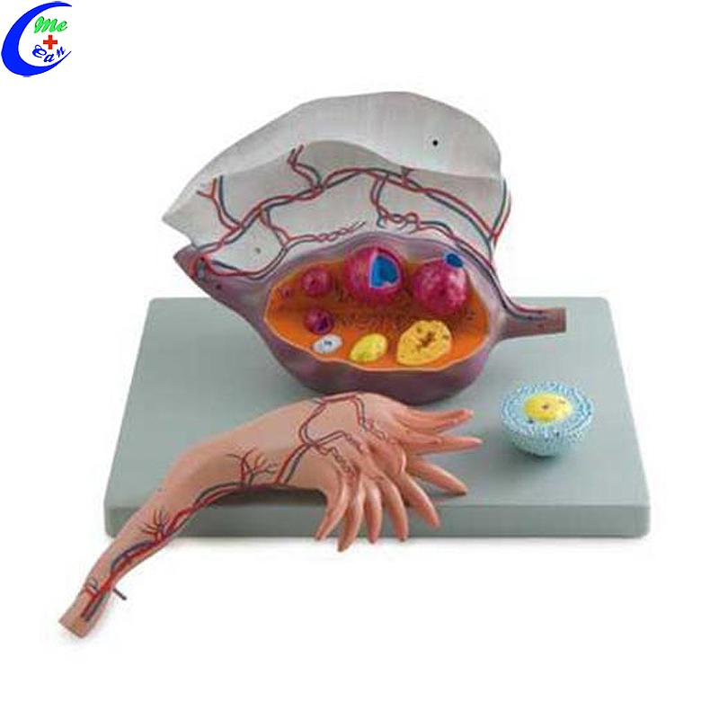 China Mediese Anatomie Opleidingsmodel Vergrote Ovary Model Vervaardigers - Mecan Medical