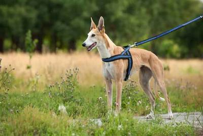 Spring Dog Leash Factory: What is spring dog leash-QQpets?