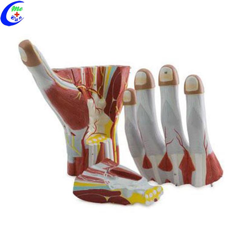 hand model .jpg