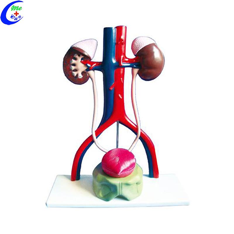 النموذج التعليمي للجهاز البولي الطبي