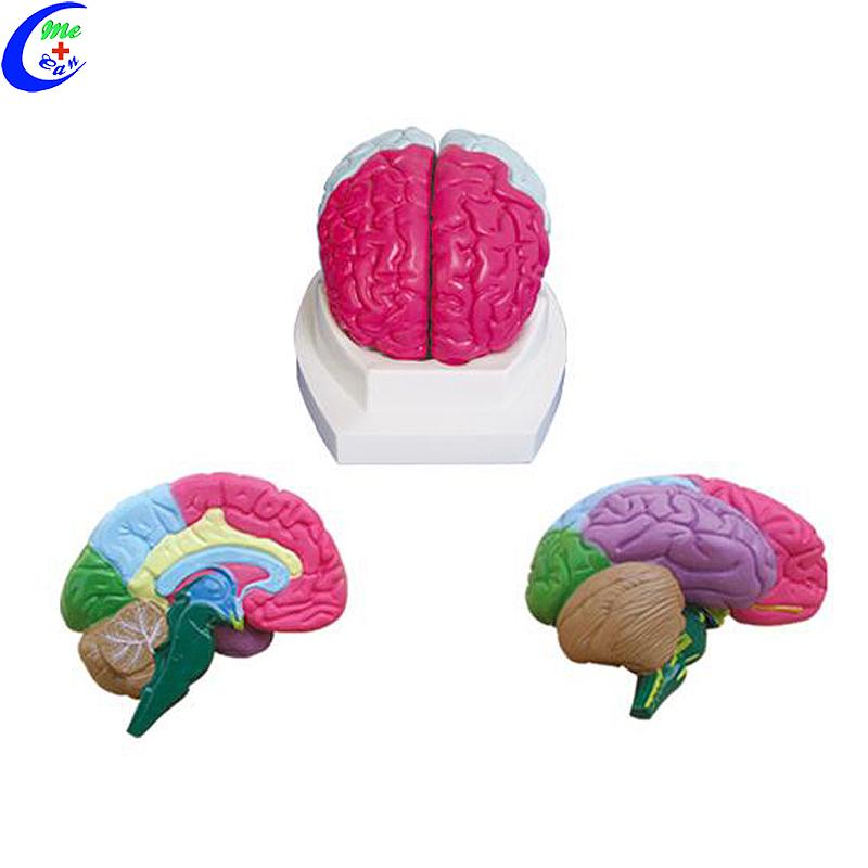 نموذج تشريح الدماغ البشري الطبي