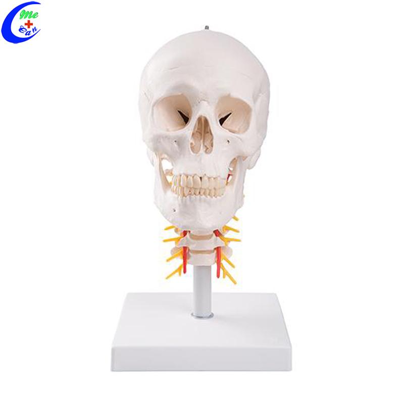 human anatomical model .jpg