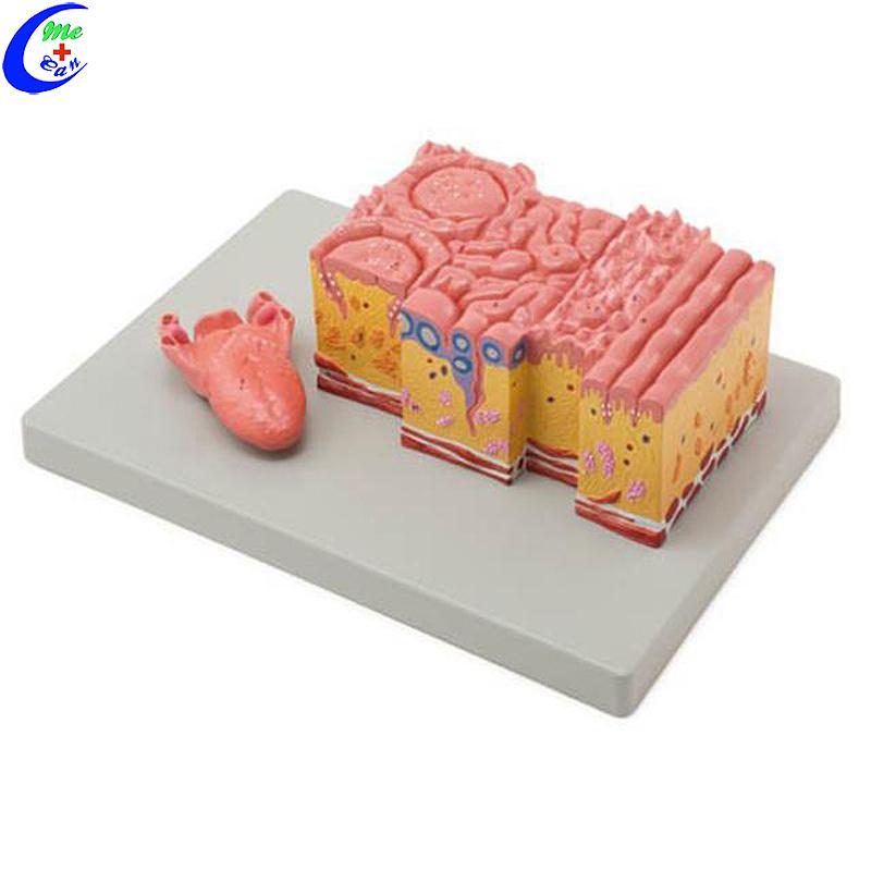 نموذج هيكل تشريح الجلد ثلاثي الأبعاد