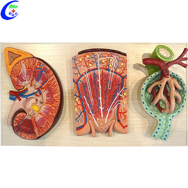 human anatomy model 3.jpg