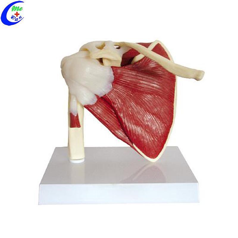 نماذج تشريح الكتف مع العضلات والأربطة للطلاب