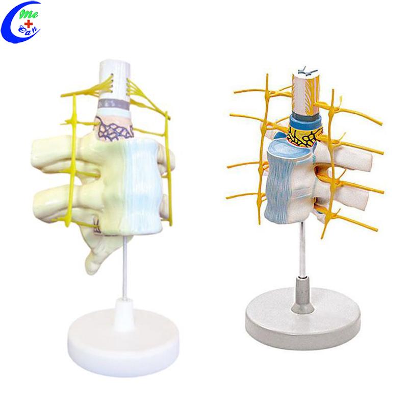 spinal cord model.jpg