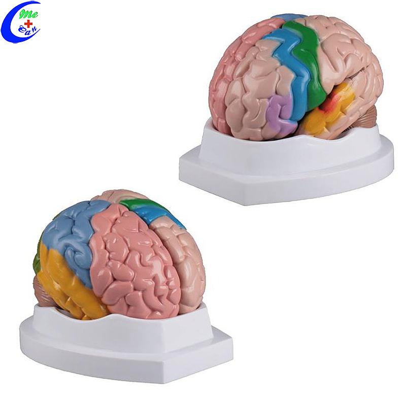 نموذج ثلاثي الأبعاد لدماغ بلاستيكي بشري
