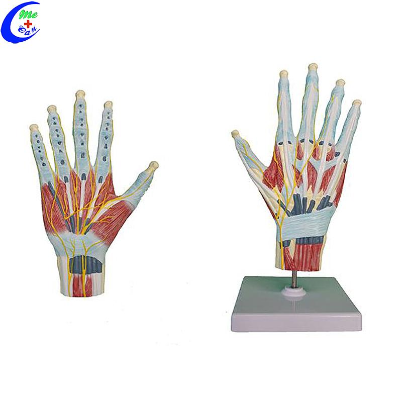 Anatomiese model van plastiekhand
