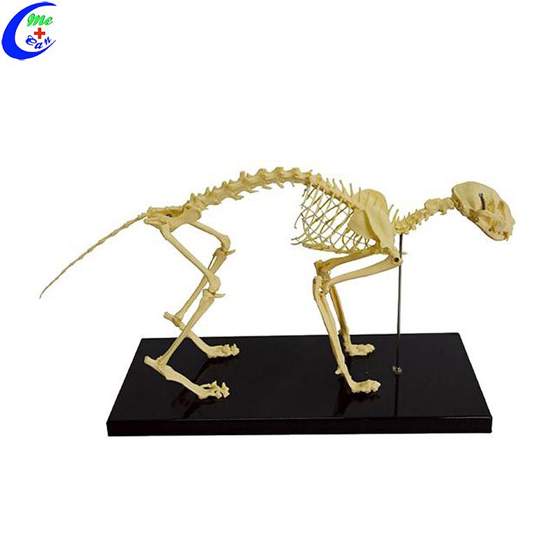 نماذج هيكل عظمي حيوان القط البلاستيك