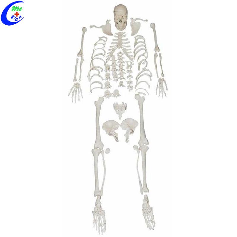anatomy model skeleton .jpg