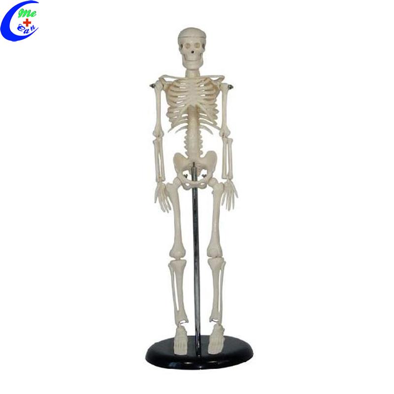 anatomy model skeleton.jpg