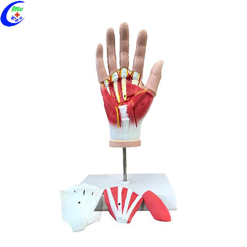 plastic hand model.jpg