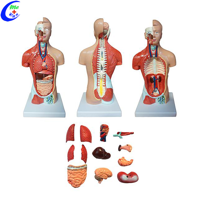 human anatomy torso model.jpg