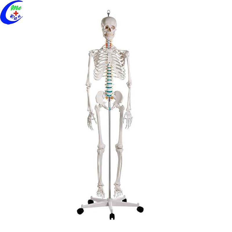 Menslike torso skelet anatomie model