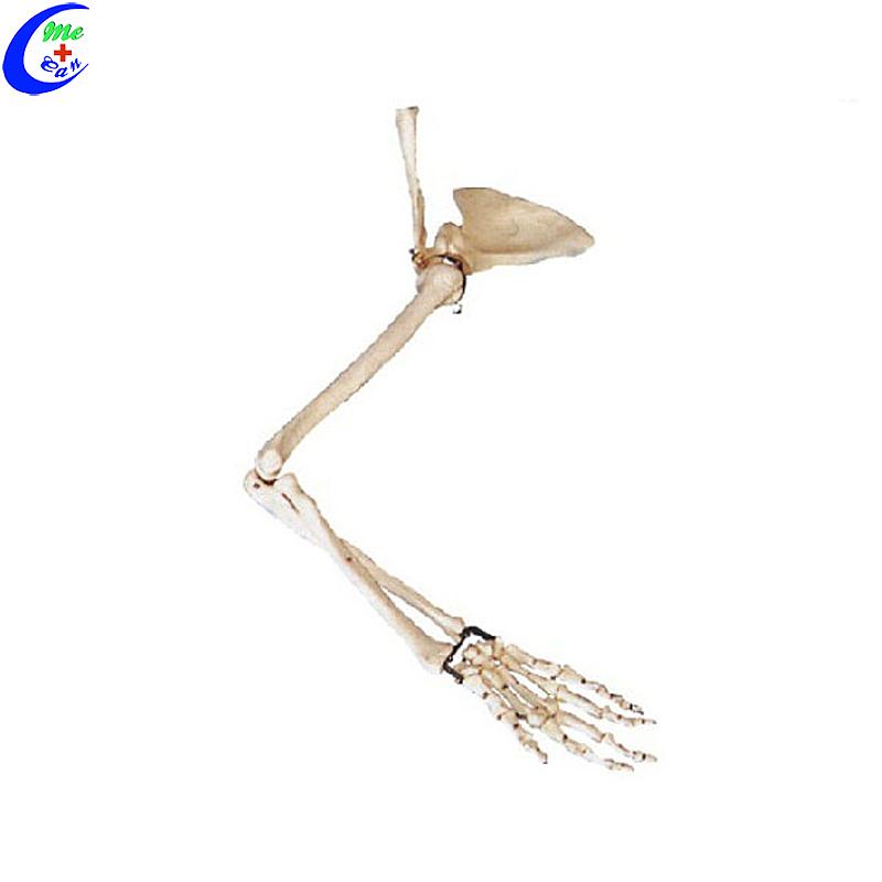 Opvoedkundige skelet-handbeenmodel