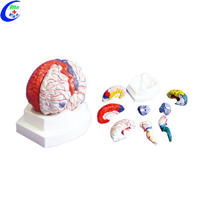 plastic brain models .jpg