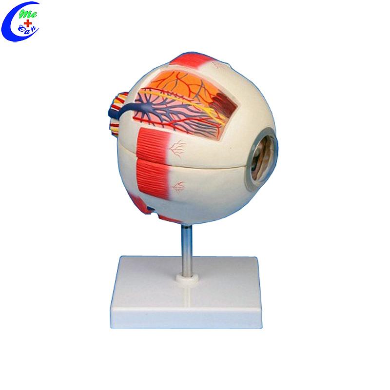 Mediese anatomiese modelle 6 dele Reuse-oogmodel