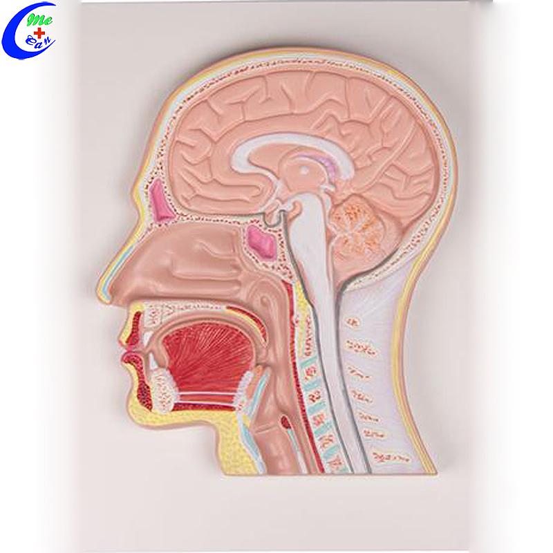 نموذج تشريحي طبي نموذج تعليمي نحت رأس بشري