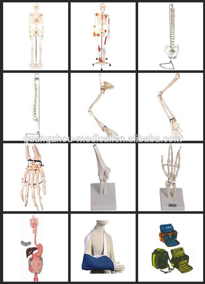 180cm Artificial Human Body Anatomy Skeleton Model