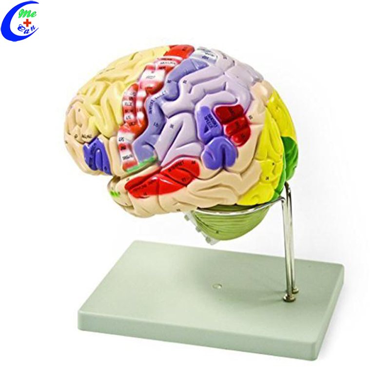 brain model.jpg