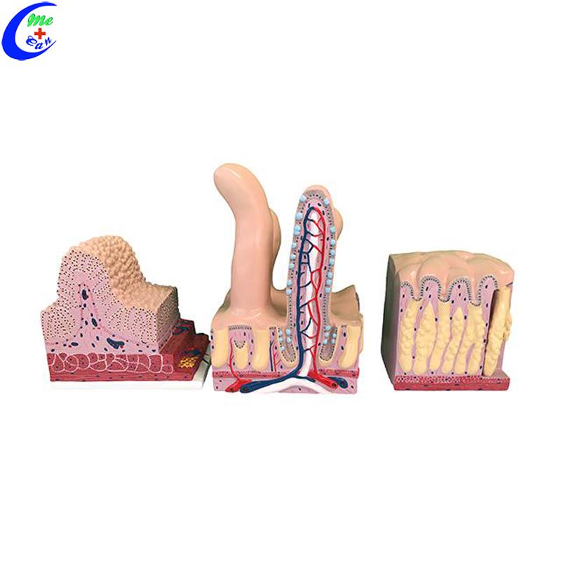 skin structure model .jpg